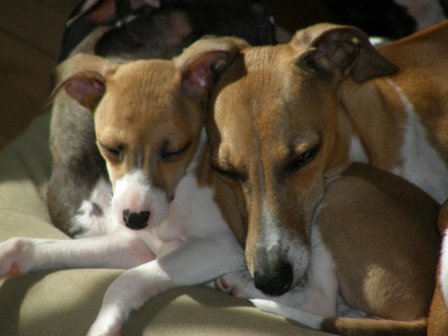 Italian Greyhounds Italian Greyhound Puppies For Sale Breeder